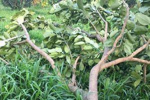 Vĩnh Long: Truy tìm kẻ phá hoại vườn bưởi Năm Roi gây thiệt hại hàng trăm triệu đồng