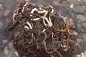 Phóng sinh 40kg rắn ra ngoài môi trường để cầu may