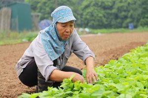 Hà Nội: Trồng rau kiểu 'phó giáo sư', dân ở đây thu 500 triệu/ha/năm
