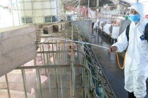 Xuất hiện ổ dịch tả lợn Châu Phi thứ 3 tại Thừa Thiên – Huế