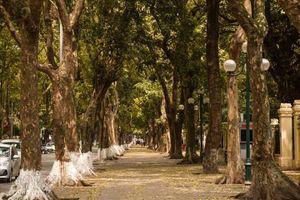 Hà Nội đẹp nao lòng, đường phố trải thảm vàng mùa sấu thay lá
