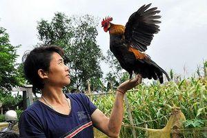Tuyệt chiêu thợ săn giả tiếng gà mái gọi trống, thả gà mồi bẫy gà rừng