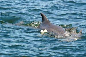 Đau lòng hình ảnh cá heo mẹ không rời xác con bị vướng vào dụng cụ đánh bắt