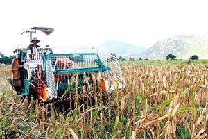 Ninh Thuận: Ngô lai mất mùa