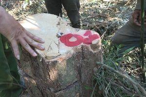 Tiếp tục phát hiện hơn 40m3 gỗ gần hiện trường hàng chục cây gỗ rừng bị đốn hạ