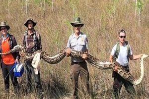 Bất ngờ tóm được trăn khổng lồ dài hơn 5 mét, nặng hơn 60 kg
