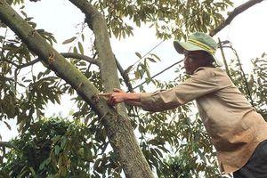 Sớm điều tra làm rõ vườn sầu riêng tiền tỷ nghi bị đầu độc bằng thuốc diệt cỏ