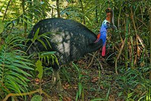 Con chim 'nguy hiểm nhất thế giới' giết chủ