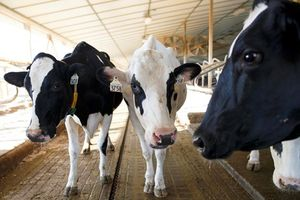 Bò sữa ở Anh tận hưởng tiện ích của mạng 5G trước cả con người