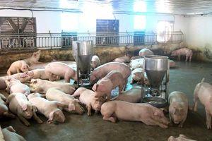 Giá lợn hơi ở miền Bắc tiếp tục giảm, ở miền Nam vẫn đứng ở mức cao