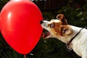 Chú chó nhỏ và quả bóng bay có thể khiến bạn cười cả ngày