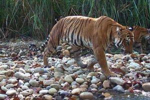Malaysia bắt giữ 2 người Việt Nam nghi săn trộm hổ