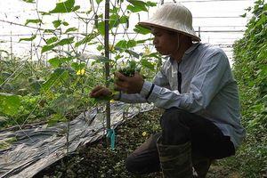 Clip: Kỹ sư xây dựng về quê trồng rau sạch