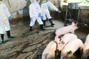 Xuất hiện dịch tả lợn châu Phi tại Cao Bằng