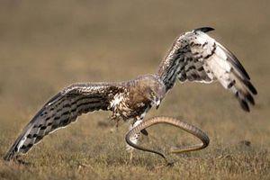 Tận mắt rắn chuột tử chiến với chim ưng tìm đường sống