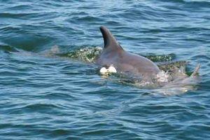Cá heo mẹ đau buồn mang xác con đi khắp ven bờ biển Úc
