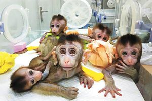 Đưa gene người vào não khỉ - các nhà khoa học Trung Quốc lại gây sóng gió