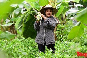 Người phụ nữ gần nửa thế kỷ mưu sinh bằng nghề chặt lá chuối