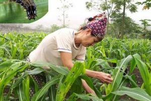 CLIP: Nông dân Ninh Bình hoang mang bởi sâu lạ hủy diệt ngô xuân