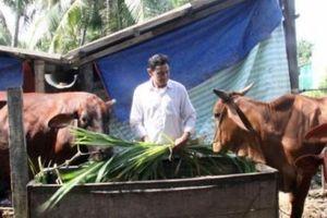 Long An: Loay hoay xây dựng HTX bò thịt vì chưa có... tiền lệ