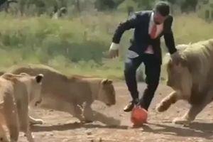 Người huấn luyện mạo hiểm chơi đá bóng cùng sư tử