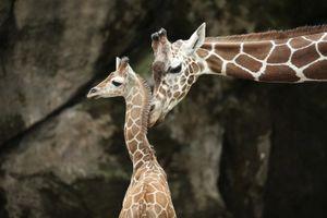 Sở thú Trung Quốc 'phát điên' vì khách cho hươu cao cổ ăn 1.500 USD