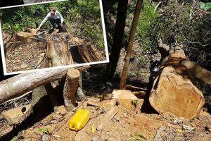 Tỉnh Gia Lai chỉ đạo điều tra vụ chặt hạ trái phép rừng giáng hương