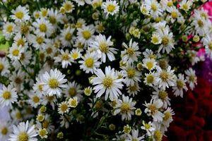 Hoa cúc - Vị thuốc của cuộc sống