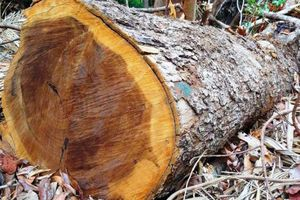 Kon Tum: Lâm tặc mở đường phá rừng sát 'nách' Trạm bảo vệ rừng?