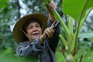 Người phụ nữ 35 năm chặt lá chuối mưu sinh
