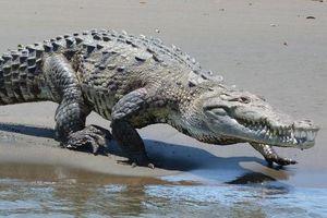 Cầu cá sấu bất ngờ trở thành điểm nóng du lịch ở Costa Rica