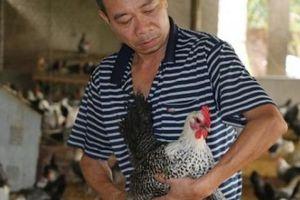 Nuôi loài gà đỏm dáng, đẻ sòn sòn trên đệm lót sinh học