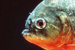 Cá Piranha có nguy hiểm như bạn nghĩ?
