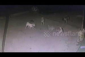 Đàn chó liều chết hiệp lực tấn công, cắn xé rắn hổ mang để bảo vệ chủ