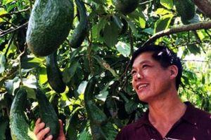 Đắk Lắk: Cảnh báo nóng về trồng xen canh trong vườn cà phê