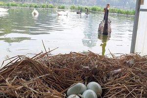 Đàn thiên nga được nuôi ở hồ Thiền Quang đã đẻ gần 20 quả trứng