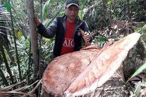 Rừng Quảng Bình bị tàn phá, kiểm lâm ở đâu