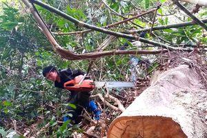 Lâm tặc phá rừng Chiềng Khừa: Kiểm Lâm Sơn La nói chỉ là cây khô, chết