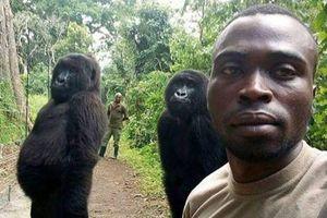 Nhân viên kiểm lâm 'gây sốt' khi selfie cùng với khỉ đột ở Congo