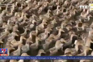 Đàn vịt 6000 con di chuyển 10km mỗi ngày tại Trung Quốc