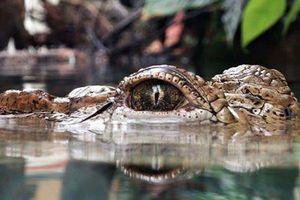 Chàng trai mất tích ở sông, cá sấu ngoi lên cùng chiếc chân nạn nhân