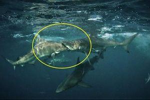 Cá mập ngốc nghếch tự sát, đâm thẳng họng đồng loại?
