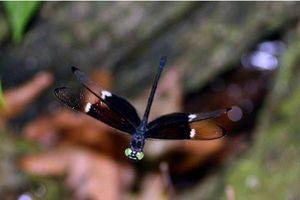 Sự thật kỳ thú loài chuồn chuồn đặc hữu của Việt Nam