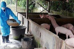 Hà Nội khống chế thành công 3 ổ dịch tả lợn châu Phi