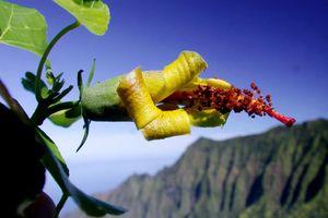 Tìm thấy loài hoa được cho là tuyệt chủng ở Hawaii