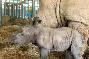 Vinpearl Safari Phú Quốc: 17 ngày đón 2 cá thể tê giác quý chào đời