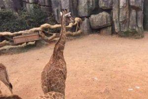 Vườn thú truy tìm khách Trung Quốc cho hươu cao cổ ăn tiền
