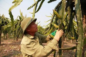Chuyện về người thương binh trồng thanh long