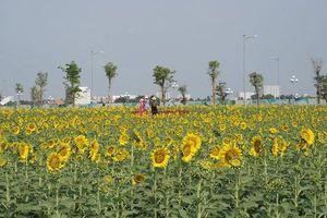 TP Hồ Chí Minh: Vườn hoa hướng dương trở lại phục vụ du khách đúng dịp lễ 30/4
