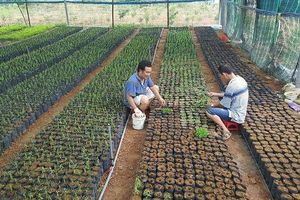 Cấp 'giấy thông hành' cho cây đàn hương tại Việt Nam